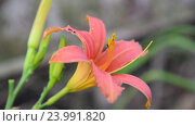 Купить «pink flower daylily in flowerbed», видеоролик № 23991820, снято 22 июля 2016 г. (c) Володина Ольга / Фотобанк Лори