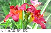Купить «scarlet terry daylily flower in flowerbed», видеоролик № 23991832, снято 24 июля 2016 г. (c) Володина Ольга / Фотобанк Лори