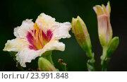 Купить «Orange terry daylily flower after rain», видеоролик № 23991848, снято 28 октября 2016 г. (c) Володина Ольга / Фотобанк Лори