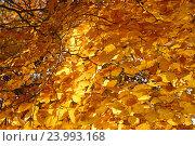 Купить «Золотая листва на ветке в лучах солнца», эксклюзивное фото № 23993168, снято 29 октября 2016 г. (c) Svet / Фотобанк Лори