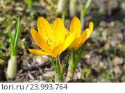 Купить «Желтые крокусы (лат. Crocus)», фото № 23993764, снято 17 апреля 2016 г. (c) Елена Коромыслова / Фотобанк Лори
