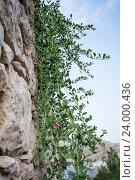 Куст каперсов, растущий на отвесной каменной стене. Стоковое фото, фотограф Андрей Вежновец / Фотобанк Лори