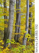 Буковые деревья (Fagus sylvatica L.) осенью. Стоковое фото, фотограф Ирина Борсученко / Фотобанк Лори