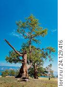 Купить «Россия,  Азия, Иркутская область, озеро Байкал, остров Ольхон. Ландшафт острова с деревьями, изувеченными молниями летних гроз и суровыми байкальскими ветрами.», эксклюзивное фото № 24129416, снято 5 июля 2016 г. (c) Александр Циликин / Фотобанк Лори