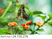 Купить «Дневная тропическая бабочка Графиум Агамемнон (лат. Graphium Agamemnon) на ярком цветке лантаны (лат. Lantana)», фото № 24130276, снято 18 сентября 2012 г. (c) Наталья Гармашева / Фотобанк Лори