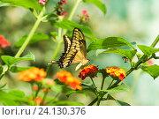 Купить «Дневная тропическая бабочка парусник тоас (лат. Papilio Thoas) на  ярких цветах лантаны  (лат. Lantana)», фото № 24130376, снято 18 сентября 2012 г. (c) Наталья Гармашева / Фотобанк Лори