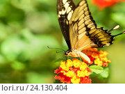 Купить «Дневная тропическая бабочка парусник тоас (лат. Papilio Thoas) лакомится нектаром на цветах лантаны  (лат. Lantana)», фото № 24130404, снято 18 сентября 2012 г. (c) Наталья Гармашева / Фотобанк Лори