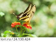 Купить «Дневная тропическая бабочка парусник тоас (лат. Papilio Thoas) собирает нектар на ярком цветке лантаны  (лат. Lantana)», фото № 24130424, снято 18 сентября 2012 г. (c) Наталья Гармашева / Фотобанк Лори