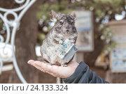 Шиншилла держит в лапках купюру. Стоковое фото, фотограф Татьяна Назмутдинова / Фотобанк Лори