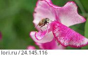 Купить «Журчалка на розовом цветке сладкого гороха (Lathyrus odoratus)», видеоролик № 24145116, снято 23 сентября 2016 г. (c) Елена Абдураманова / Фотобанк Лори