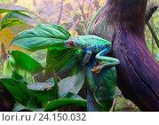 Купить «Красноглазая квакша (Red-eyed tree frog)», фото № 24150032, снято 3 ноября 2016 г. (c) Галина Савина / Фотобанк Лори