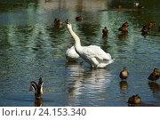 Купить «Белые лебеди и утки на воде. Средний Царицынский пруд», эксклюзивное фото № 24153340, снято 27 августа 2016 г. (c) lana1501 / Фотобанк Лори