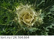 Декоративная зеленая капуста. Стоковое фото, фотограф Ирина Мещерякова / Фотобанк Лори