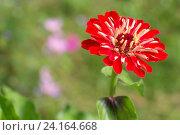 Красный цветок  на зеленом фоне. Стоковое фото, фотограф Ирина Мещерякова / Фотобанк Лори