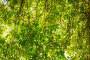 Стена из листвы виноградной лозы, фото № 24181304, снято 31 августа 2016 г. (c) Sergei Gorin / Фотобанк Лори