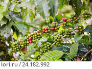 Купить «Cafetal, Coffee plantations, Coffee Cultural Landscape, Buenavista, Quindio, Colombia, South America», фото № 24182992, снято 21 июля 2016 г. (c) age Fotostock / Фотобанк Лори