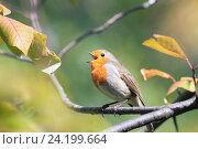 Купить «Птица зарянка сидит в парке среди листвы», фото № 24199664, снято 7 сентября 2014 г. (c) Бачкова Наталья / Фотобанк Лори
