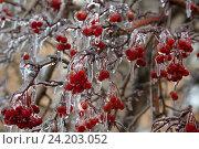 Обледеневшие ягоды рябины в зимнем парке. Стоковое фото, фотограф Николай Винокуров / Фотобанк Лори