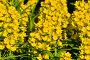Вербейник обыкновенный (лат. Lysimachia vulgaris), фото № 24204860, снято 28 июня 2015 г. (c) Сергей Трофименко / Фотобанк Лори