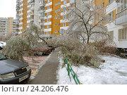 Купить «Последствия ледяного дождя. Дерево под тяжестью ледяной корки упало рядом с заледенелым легковым автомобилем. Митино», фото № 24206476, снято 11 ноября 2016 г. (c) Валерия Попова / Фотобанк Лори