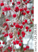 Купить «Обледенелые ветви и ягоды боярышника после ледяного дождя», фото № 24208836, снято 11 ноября 2016 г. (c) Елена Коромыслова / Фотобанк Лори