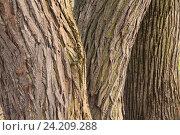 Три ствола деревьев в ряд. Стоковое фото, фотограф Андрей Гривцов / Фотобанк Лори