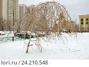 Купить «Последствия ледяного дождя. Береза нагнулась под тяжестью ледяной корки. Митино, Москва», фото № 24210548, снято 12 ноября 2016 г. (c) Валерия Попова / Фотобанк Лори