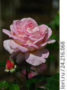 Роза чайно-гибридная Эль (лат. Elle) Стоковое фото, фотограф lana1501 / Фотобанк Лори