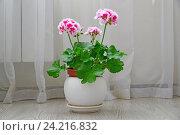 Купить «Pink geranium on background of white curtains», фото № 24216832, снято 12 ноября 2016 г. (c) Володина Ольга / Фотобанк Лори