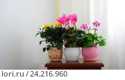 Купить «cyclamen, rose and geranium in white interior», видеоролик № 24216960, снято 14 ноября 2016 г. (c) Володина Ольга / Фотобанк Лори