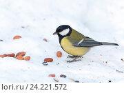 Купить «Синица большая. Great Tit (Parus major).», фото № 24221572, снято 16 декабря 2012 г. (c) Василий Вишневский / Фотобанк Лори