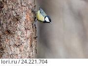 Купить «Синица большая. Great Tit (Parus major).», фото № 24221704, снято 1 марта 2014 г. (c) Василий Вишневский / Фотобанк Лори