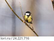 Купить «Синица большая. Great Tit (Parus major).», фото № 24221716, снято 1 марта 2014 г. (c) Василий Вишневский / Фотобанк Лори