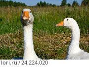 Портрет гусей на ферме. Стоковое фото, фотограф Иван Гусев / Фотобанк Лори