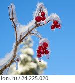 Купить «Обледеневшие ягоды калины на фоне голубого неба», эксклюзивное фото № 24225020, снято 15 ноября 2016 г. (c) Елена Коромыслова / Фотобанк Лори