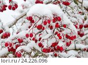 Купить «Обледеневшие ветки боярышника с ягодами после ледяного дождя и снегопада», фото № 24226096, снято 13 ноября 2016 г. (c) Елена Коромыслова / Фотобанк Лори