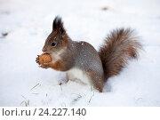 Купить «Рыжая белка с орехом», фото № 24227140, снято 6 ноября 2016 г. (c) Литвяк Игорь / Фотобанк Лори