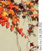 Купить «Девичий виноград триостренный (Parthenocissus tricuspidata), или виноград плющевидный», фото № 24228352, снято 5 ноября 2016 г. (c) Заноза-Ру / Фотобанк Лори