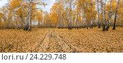 Березовый лес, панорама. Стоковое фото, фотограф Иван Железнов / Фотобанк Лори