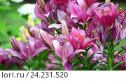 Купить «Many lilies bloom in flowerbed», видеоролик № 24231520, снято 17 ноября 2016 г. (c) Володина Ольга / Фотобанк Лори