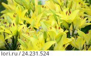 Купить «Lots of yellow lilies bloom in flowerbed», видеоролик № 24231524, снято 17 ноября 2016 г. (c) Володина Ольга / Фотобанк Лори