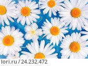 Цветы ромашки или хризантемы в воде. Стоковое фото, фотограф Светлана Сухорукова / Фотобанк Лори