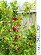 Купить «Куст крыжовника со спелыми ягодами», фото № 24233328, снято 24 июля 2016 г. (c) Юлия Кузнецова / Фотобанк Лори