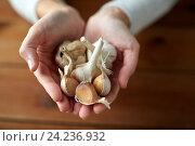 Купить «woman hands holding garlic», фото № 24236932, снято 13 октября 2016 г. (c) Syda Productions / Фотобанк Лори