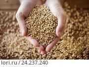 Купить «male farmers hands holding malt or cereal grains», фото № 24237240, снято 6 сентября 2016 г. (c) Syda Productions / Фотобанк Лори