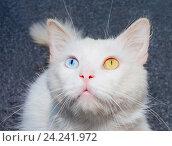 Белый кот с разным цветом глаз. Стоковое фото, фотограф Сергей Васильев / Фотобанк Лори