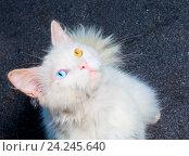 Белый кот с гетерохромией глаз. Стоковое фото, фотограф Сергей Васильев / Фотобанк Лори