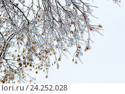 Купить «Замороженные ветки деревьев зимой», фото № 24252028, снято 12 ноября 2016 г. (c) Сергей Воронкин / Фотобанк Лори