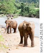 Купить «Азиатские слоны на берегу реки идут», фото № 24252076, снято 2 ноября 2009 г. (c) Эдуард Паравян / Фотобанк Лори