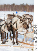 Купить «Reindeer in harness», фото № 24252644, снято 25 февраля 2012 г. (c) Владимир Мельников / Фотобанк Лори